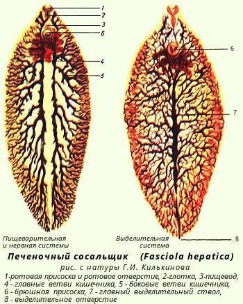 Глисти (гельмінти): симптоми і лікування
