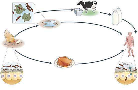 Кампілобактеріоз: симптоми і лікування