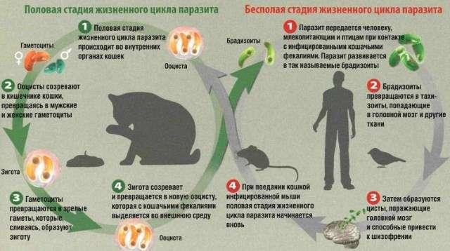 Токсоплазмоз: симптоми і лікування