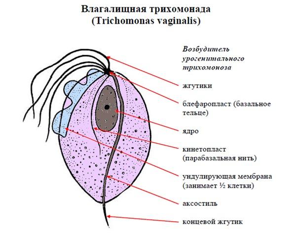 Трихомоніаз у жінок: симптоми і лікування