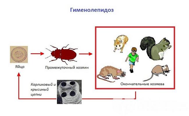 Гіменолепідоз: симптоми і лікування